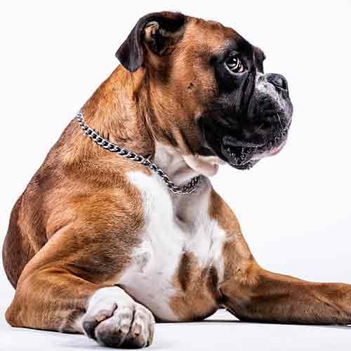 נשיכה על ידי כלב בוקסר - יש פיצוי?
